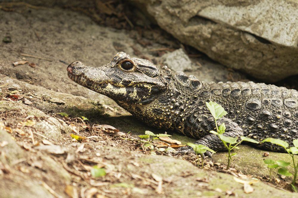 Тупорылый крокодил.