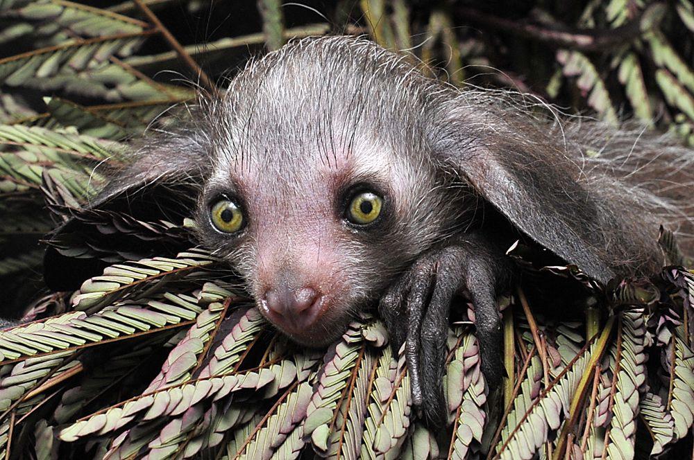 Мадагаскарская руконожка.