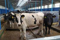 Субсидию на каждый литр молока фермеры будут получать в зависимости от надоев – чем больше производительность хозяйства, тем больше компенсируется за счет государства.