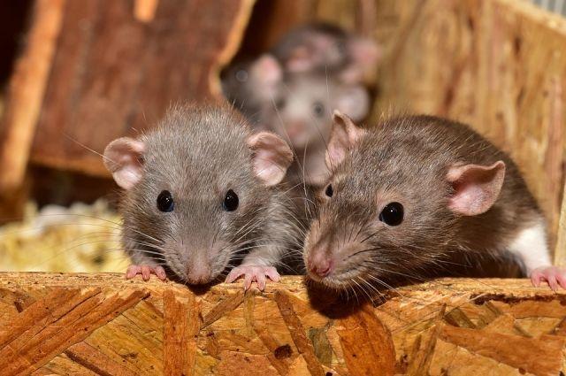 В Ижевске УК оштрафовали за крыс в подъезде жилого дома