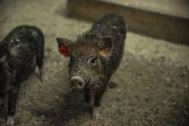Жительница Удмуртии держала в квартире свинью и поросят