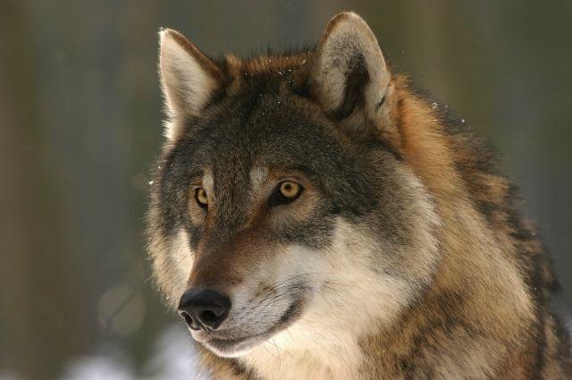 Выяснилось, что на следующий день волки вернулись к жилому трёхэтажному дому и загрызли двух собак во дворе.