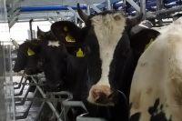 Каждая корова имеет чип в ухе, который передает не только ее местоположение, но и показатели здоровья.