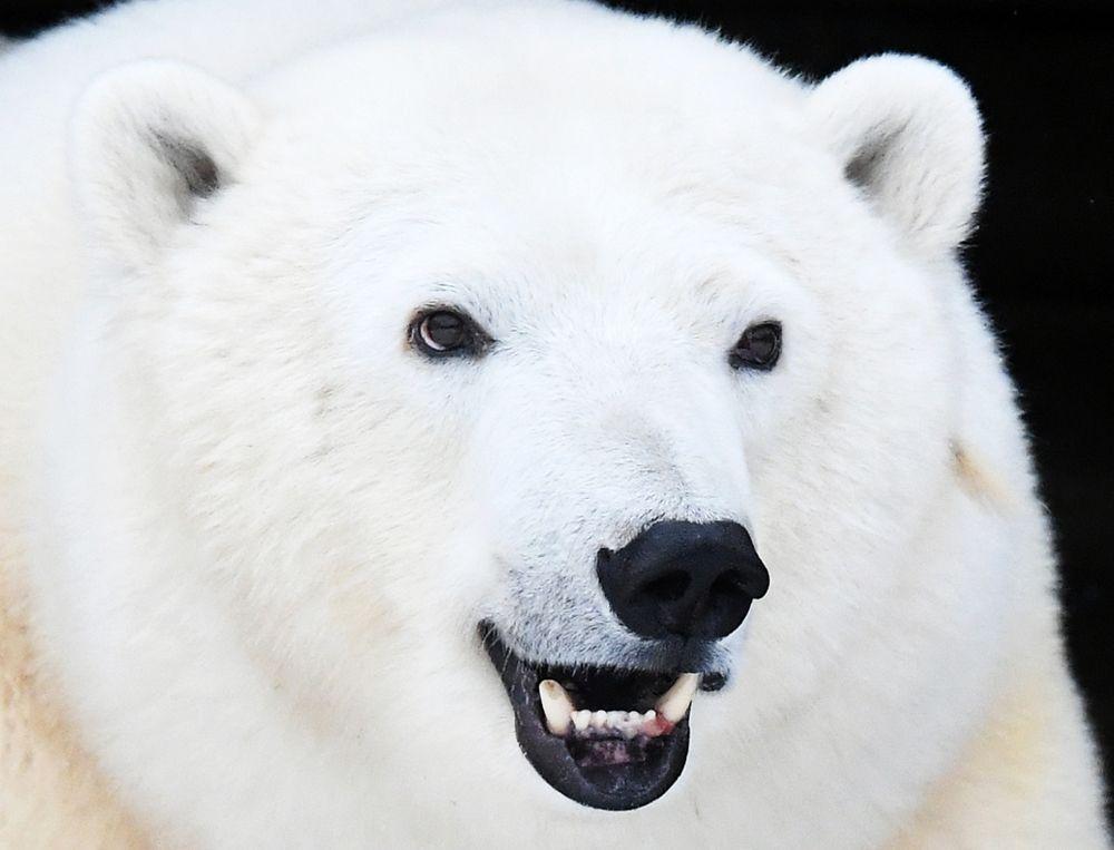 Белая медведица Марфа, которая в июне 2019 года была отловлена в Норильске и спасена сотрудниками красноярского зоопарка «Роев ручей», Красноярск.