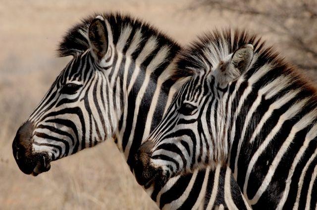 В Калининградском зоопарке умер самец зебры