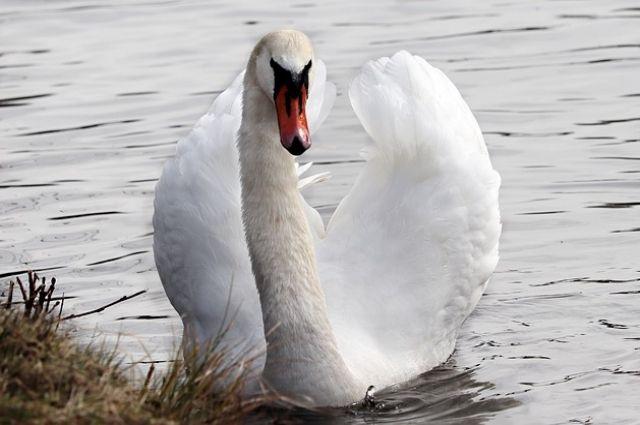 Жители Удмуртии спасли покалеченного лебедя