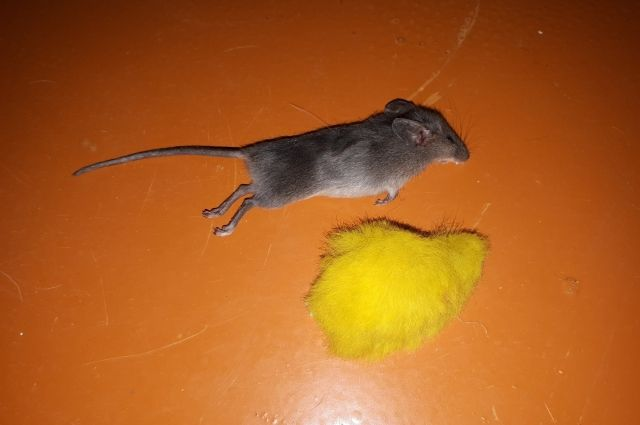 Тюменец закидал жену мышами