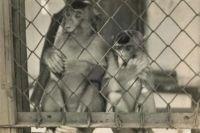 Обезьяны в Сухумском питомнике. Фото 1930 года.