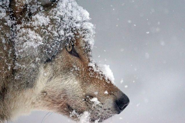 Во время патрулирования были зафиксированы старые, присыпанные снегом следы волков.