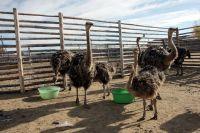 В Тюменском районе завершается расширение страусиной фермы
