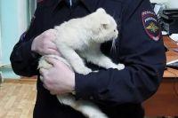 Шотландскому вислоухому коту Валере 3 месяца.