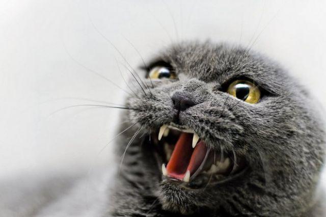 В Гаврилов-Яме у домашний кошки обнаружили бешенство