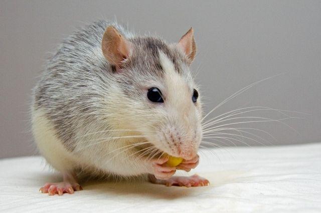 Оренбургские кадеты во время опыта на крысах подтвердили вред снюса.