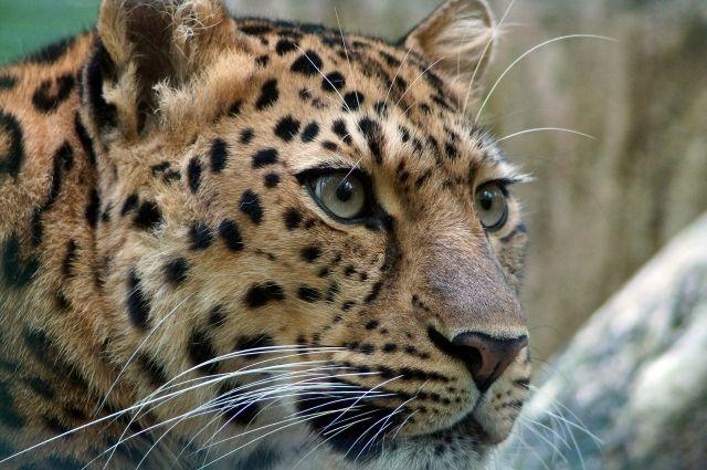 В центре Тюмени выгуливали леопарда