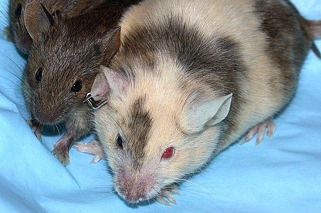 Мышь-химера (справа).
