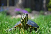 Оренбургские полицейские передали контрабандных черепах в зоопарки.