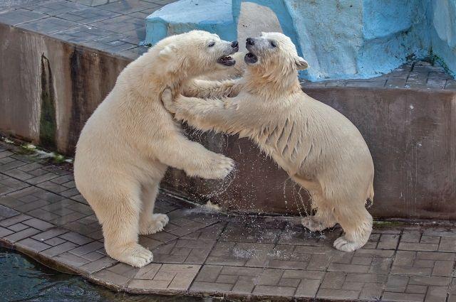 Постоянные посетители зоопарка с легкостью отличают подросших медвежат друг от друга, могут сказать, кто Норди, а кто – Шайна.