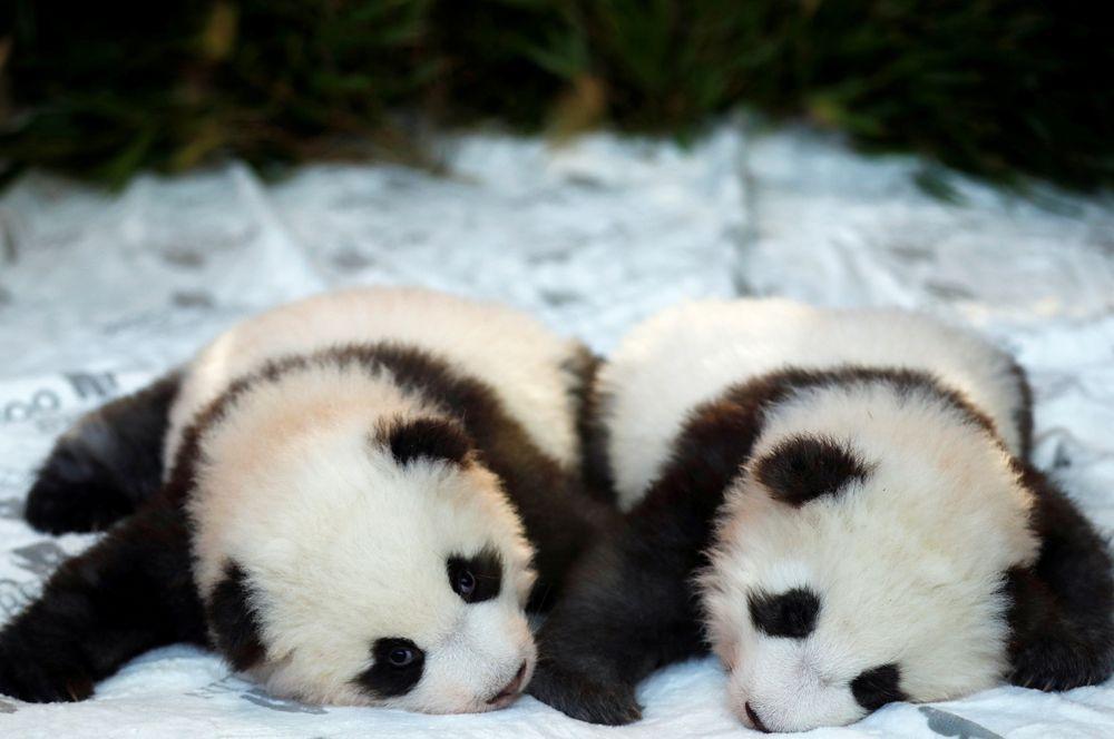 Детеныши панды Мэн Юань и Мэн Сян в Берлинском зоопарке, Германия.