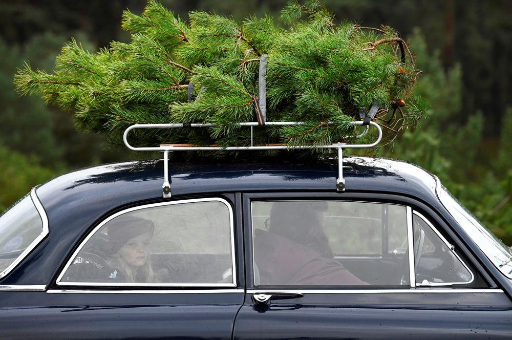 Семья забирает рождественское дерево из национального парка Де-Хоге-Велюве в провинции Гелдерланд, Нидерланды. Желающие могут забрать дерево бесплатно. Эта инициатива направлена на сокращение популяции сосен в парке, которые растут там в большом количестве из-за благоприятного состава почвы.