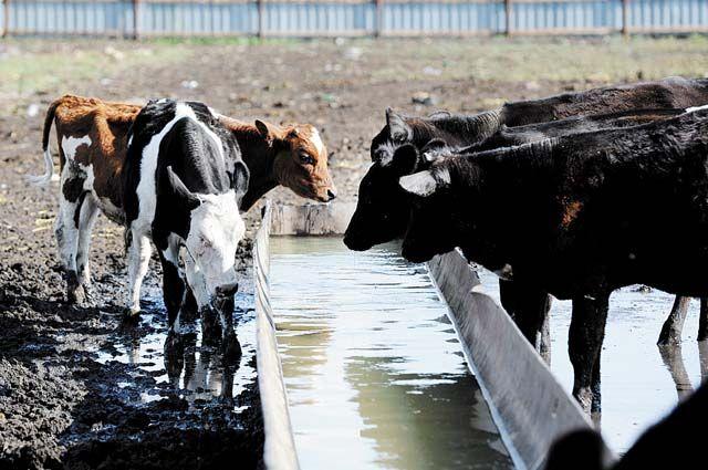 Переносчиками опасной болезни помимо прочих является крупный рогатый скот.