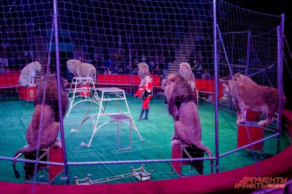 Впрочем, на арене Иркутского цирка можно увидеть, как четыре белых льва выступают наравне с четырьмя жёлтыми собратьями.