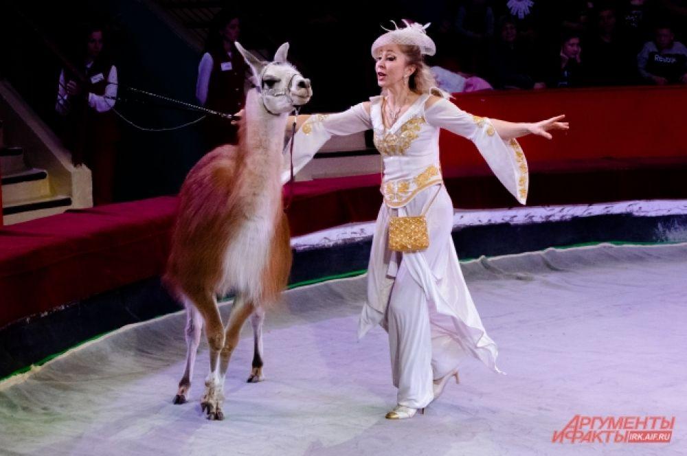 Не менее экзотичным оказалось выступление лам - пушистых родственников верблюдов.