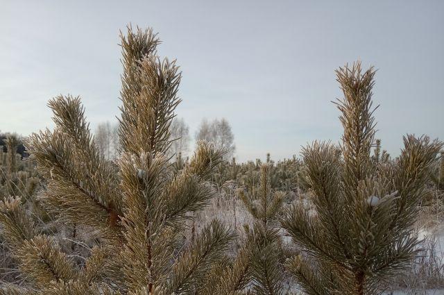 На улице Петухова неизвестные срубают молодые елочки, чтобы украсить ими свои дома в предновогоднюю пору.