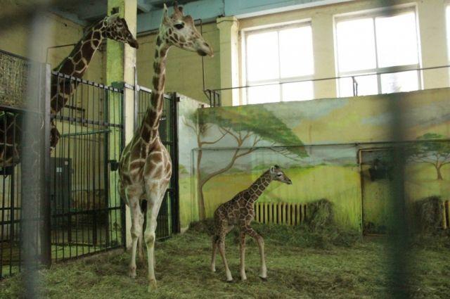 Калининградский зоопарк рассказал о рождении жирафёнка