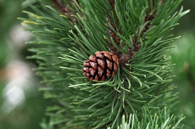 В Тюмени на Войновке неизвестный отпилил макушку чужой елки