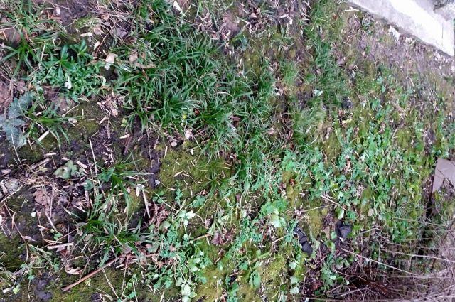 В Кимрах, из-за аномально теплого декабря, выросла трава и набухли почки