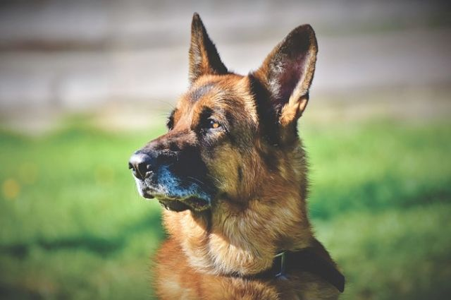 Пёс по кличке Гудини жил на автомойке и охранял её.