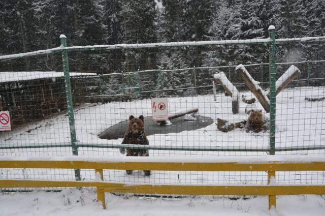 Аномальная зима: погода не дает медведям в Карпатах уснуть