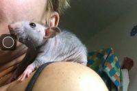 Спрос на крыс вырос в канун Нового года.