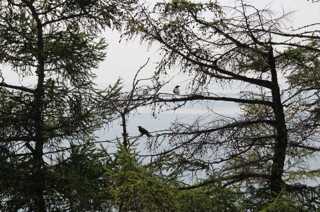 Победить вредителей в лесных угодьях Байкальской природной территории не так просто: здесь нельзя проводить сплошные санитарные рубки и обрабатывать деревья даже биологическими препаратами.