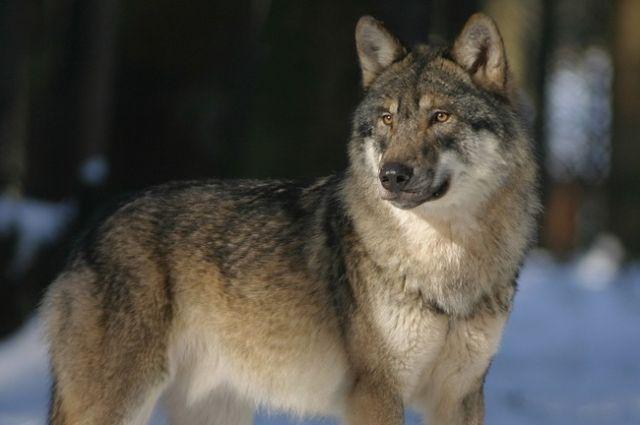 Волки утащили со двора одного из частных домов собаку и растерзали её.