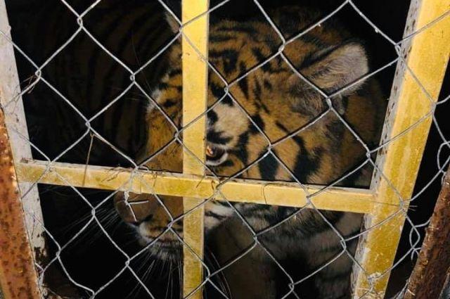В Киеве на острове обнаружили шестерых тигров