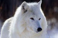 Три полярных волка стали новыми обитателями зоопарка.