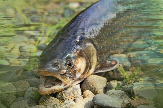 Северянка купила дорогую рыбу, заплатив еще и за камни внутри нее
