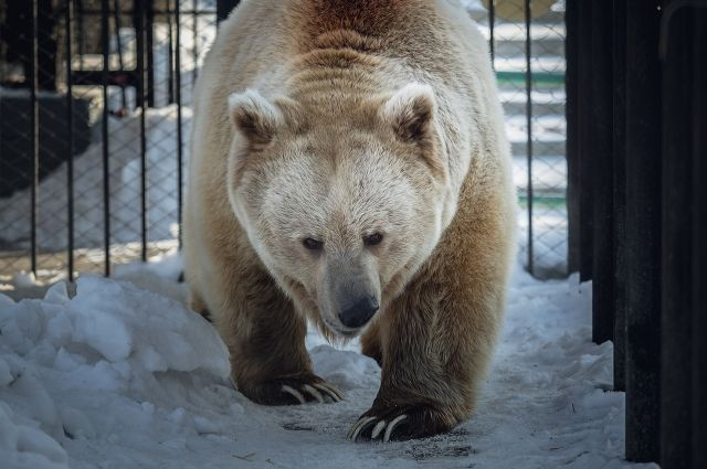 В дикой природе медведи не выходят из берлоги до весны, даже если очень тепло