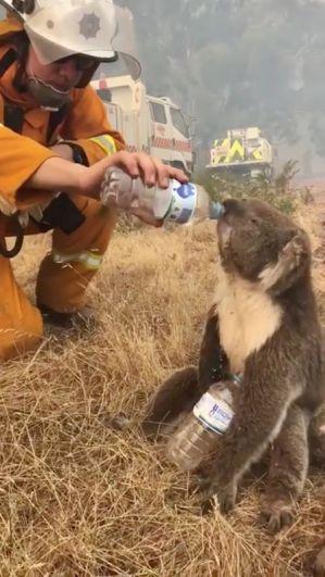 Спасатель дает коале воду рядом с городом Кадли Крик неподалеку от Аделаиды.