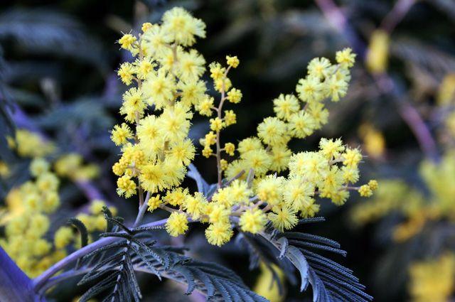 В Ботаническом саду БФУ расцвела акация и первоцветы