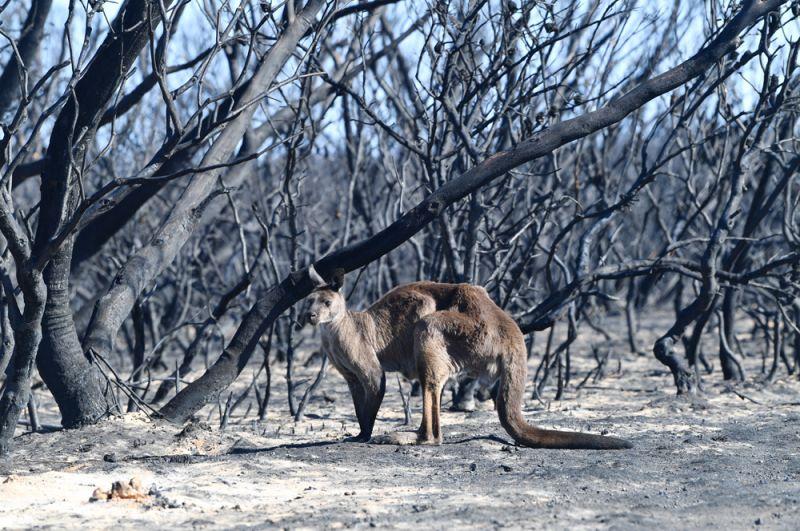 Кенгуру в Национальном парке Флиндерс Чейз на острове Кенгуру, пострадавшем от лесных пожаров.