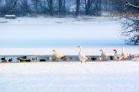 Не все птицы зимой улетают на юг.