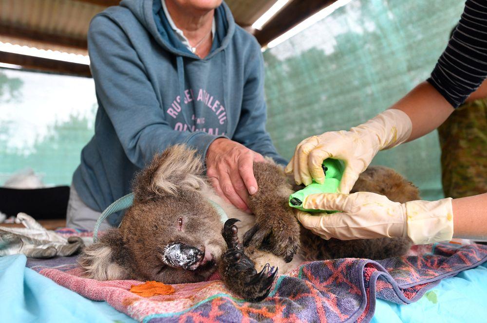 Волонтеры лечат раненую коалу в приюте для животных в Маллакуте.