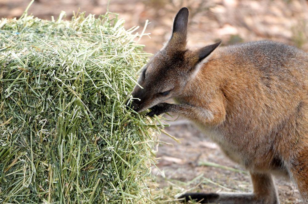 Фермеры оставили для кенгуру свежее сено.