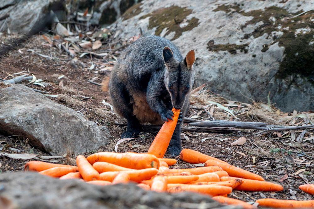 Сотрудники охраны национальных парков и дикой природы штата Новый Южный Уэльс сбросили для пострадавших от пожаров валлаби свежую морковь.