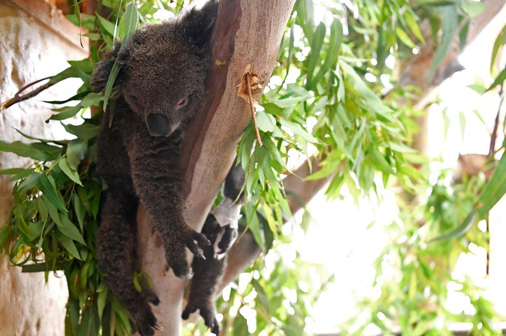 Раненая коала в приюте для животных в Маллакуте.