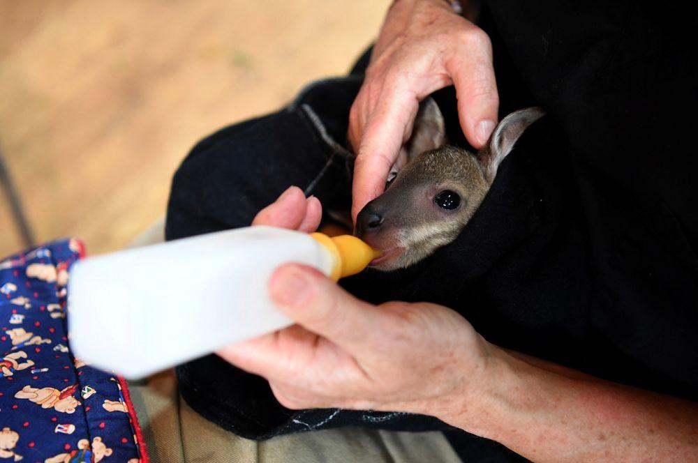 Детеныша кенгуру по кличке Джоуи кормят молоком в приюте для животных в Маллакуте.
