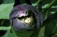 В Оренбуржье вместе с луком пытались ввезти 6 тонн насвая.
