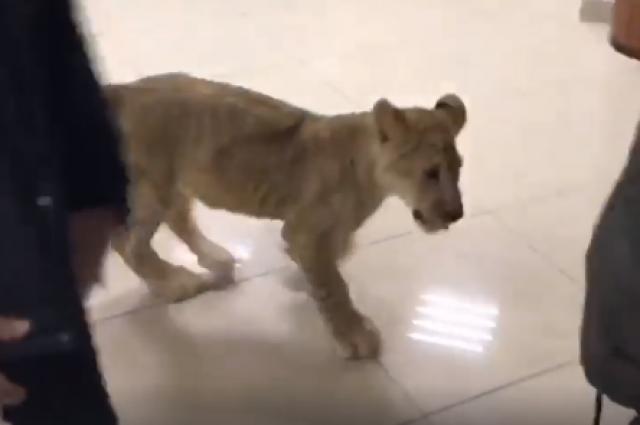 Побег из зоопарка: в Харькове по торговому центру разгуливал львенок